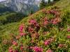Alpenrosen auf der Hirschwangalm vor der Hochplatte, Ammergauer Alpen, Deutschland