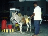 Betanken eines Esels auf den Kapverden, Santo Antao, Kapverdische Inseln
