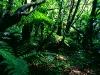 Regenwald im Tongariro Nationalpark, Nordinsel Neuseeland