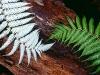 Silberfarn, ein neuseeländisches Wahrzeichen,  Neuseeland