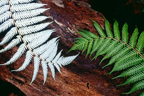 Silberfarn, neuseeländisches Wahrzeichen, Tongariro Nationalpark, Nordinsel Neuseeland