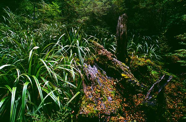 Bergregenwald nahe der Waihohonu-Hut, Tongariro Nationalpark, Neuseeland