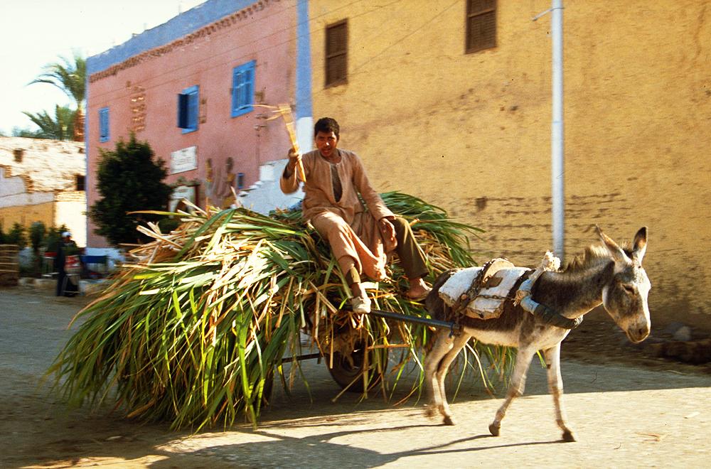 Ein Bauer im Niltal fährt seine Zurckerrohr-Ernte des Tages ein