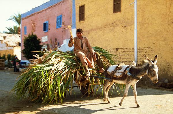 Bauer fährt seine Zuckerrohrernte auf einem Eselskarren ein, Luxor, Ägypten