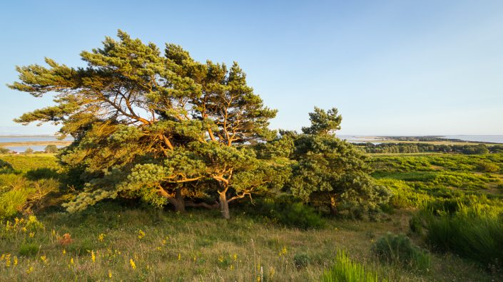 Windgebeugter Baum am Aussichtspunkt Dornbusch vor Panorama der Insel Hiddensee