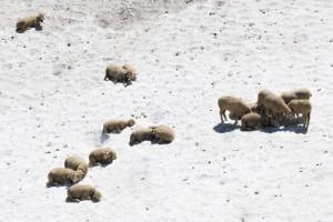 Schafe auf Schneefeld, Lenk, Berner Oberland, Schweiz