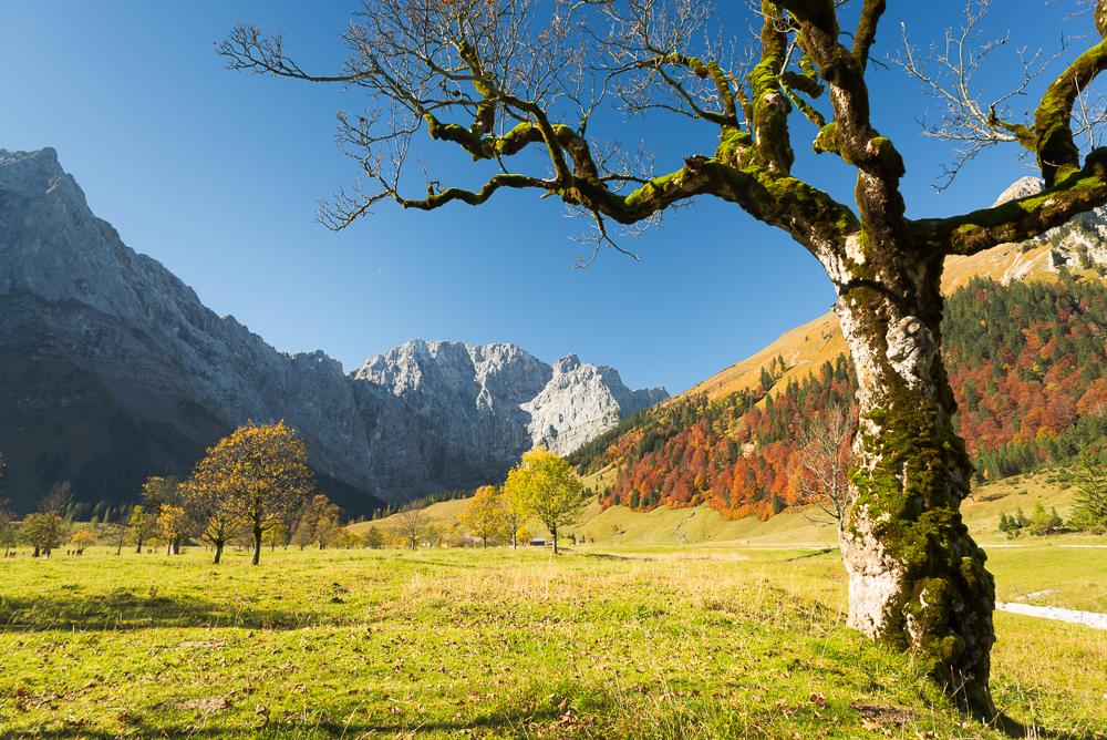 Bergahorn vor Herbstwald und Bergen auf dem großen Ahornboden
