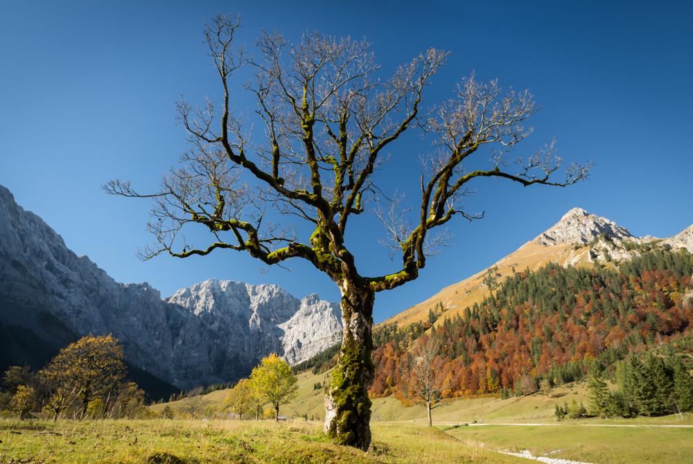 Bergahorn auf dem großen Ahornboden, Karwendel, Tirol, Österreich