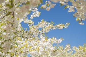 Äste mit weissen Kirschblüten vor blauem wolkenlosem Himmel