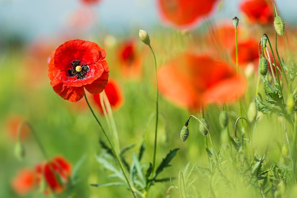 Roter Klatschmohn blüht auf einem Feld in Bayern