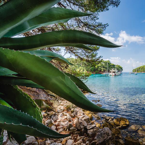 Segelboote und Yachten ankern in der Bucht Krivica umgeben von Felsenküste, Pinienwald und einer Agave an der Insel Lošinj, Kvarner Bucht, Kroatien