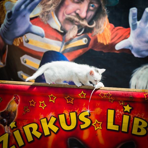Weisse Katze balanciert mit Maus - Zirkus Liberta