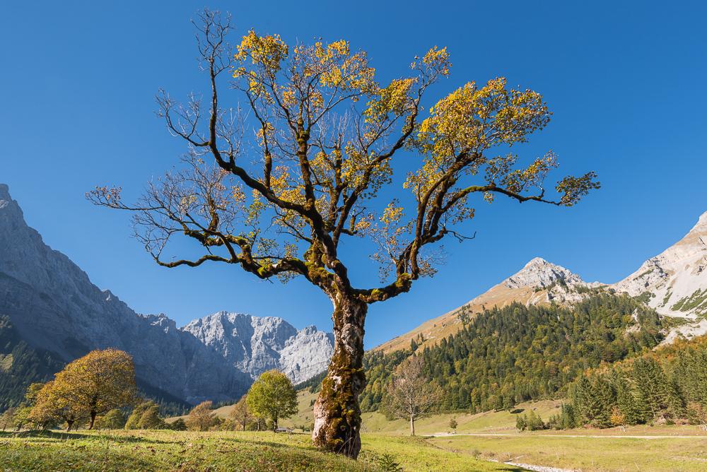 Herbstlich gefärbte Ahornbäume auf dem großen Ahornboden im Karwendel Gebirge, Tirol, Österreich