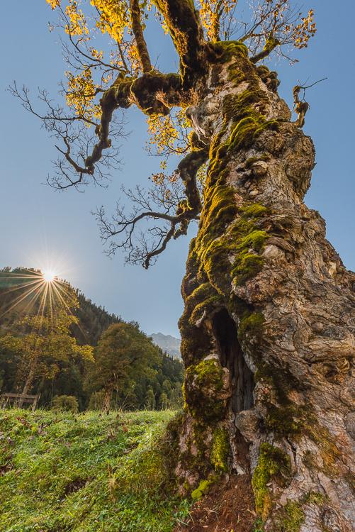 Moos auf der Rinde am Stamm eines alten Bergahorn mit goldenem Herbstlaub auf dem Ahornboden im Karwendel Gebirge im Gegenlicht mit der Sonne, Tirol, Österreich
