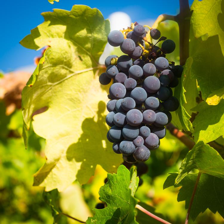Mali Plavac Weintrauben an Rebstöcken wachsen auf der Halbinsel Peljesac für den Dingac Rotwein, Kroatien