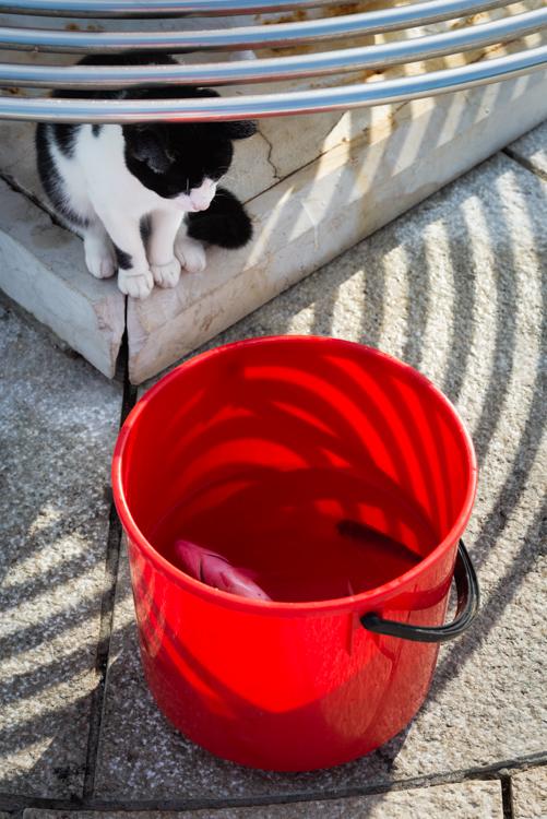 Schwarzweiße Katze schaut nach Fischen in einem roten Wassereimer im Hafen von Cres, Kvarner Bucht, Kroatien