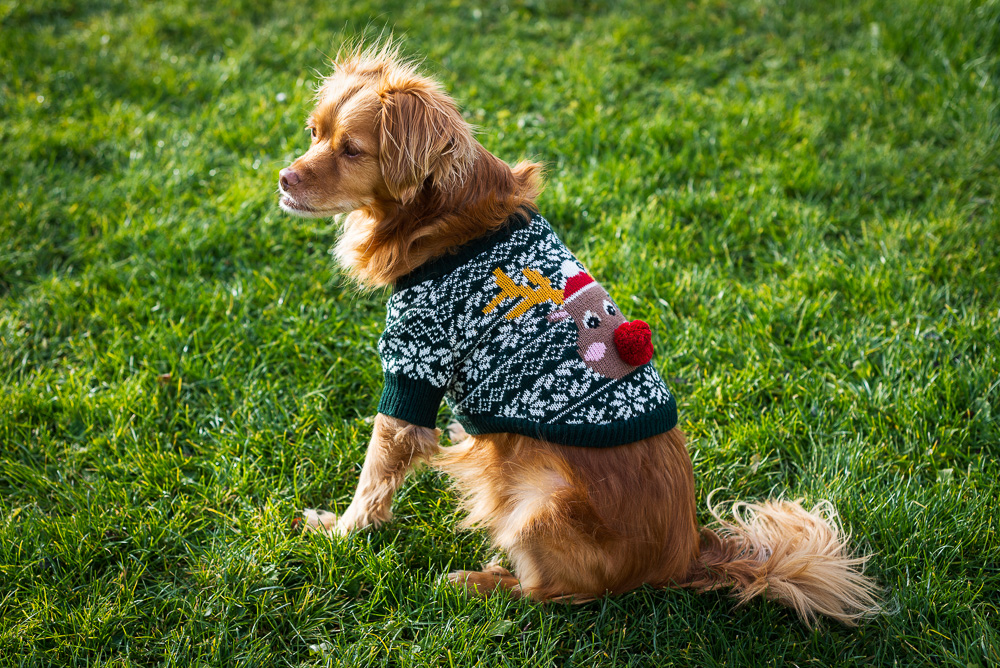 Spaniel-Mischling mit Weihnachtspullover sitzt auf grüner Wiese