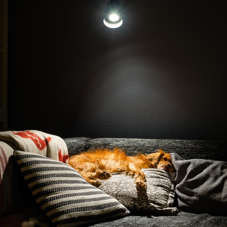 Unser Hund liegt entspannt auf Kissen auf einem Sofa im Lichtkegel der Leselampe