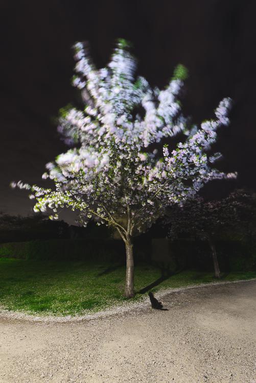 Katze unter einer blühenden Japanischen Zierkirsche in einem Park bei Nacht, Deutschland