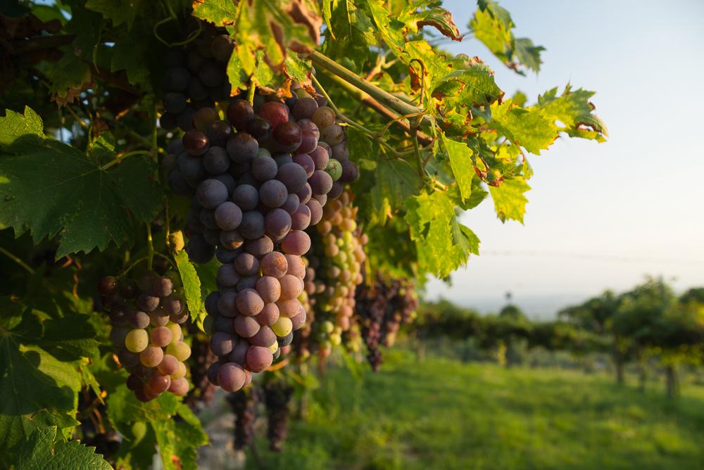 Rote Weintrauben an Rebstöcken im Valpolicella Anbaugebiet, Venetien, Italien