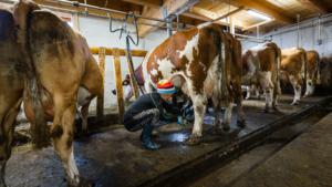 Sennerin schliesst die Melkmaschine an die Zitzen am Euter einer Milchkuh an, Ackernalm, Tirol, Österreich