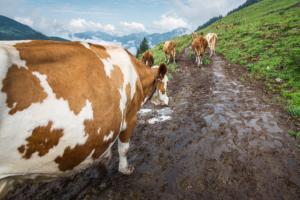 Kühe verlassen den Kuhstall und laufen auf die Weide auf der Ackernalm, Tirol, Österreich