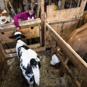 Zwei Wochen altes Kalb trinkt im Stall frische gemolkene Milch über ein Gummizitze aus einem Eimer