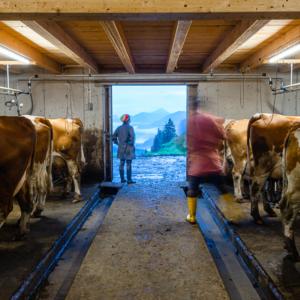 Kühe stehen beim Melken im Kuhstall, Ackernalm, Tirol, Österreich