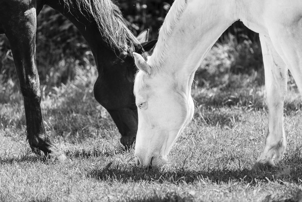Ein braunes bayrisches Warmblut Pferd und ein weißer Cremello Achal-Tekkiner Fuchs beim Grasen auf der Koppel
