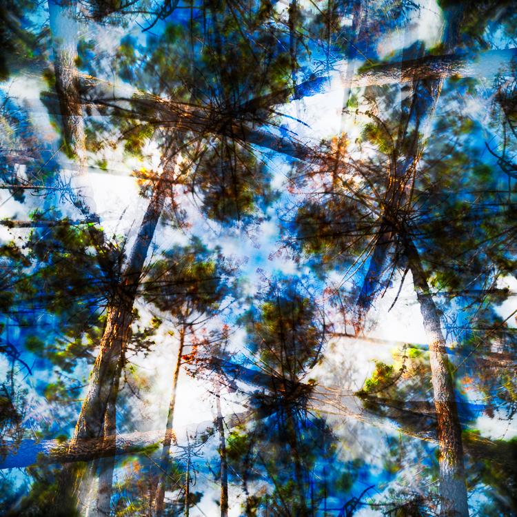 Stämme und Baumkronen von Mittelmeer-Pinien an der Küste der Toskana wiegen sich vor einem blauen Himmel im Wind