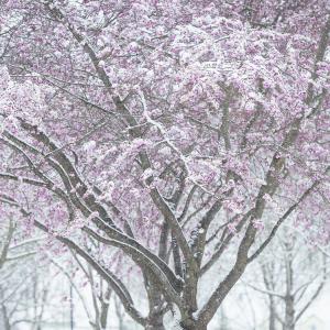 Eis und Schnee bedecken Kirschblüten der Japanischen Zierkirsche nach einer Kaltfront im Frühling, Bayern, Deutschland